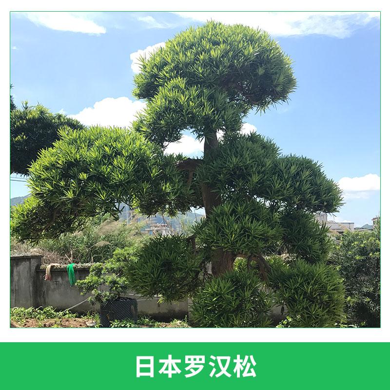 日本罗汉松园林庭园观赏树常绿针叶进口罗汉松造型罗汉杉盆景
