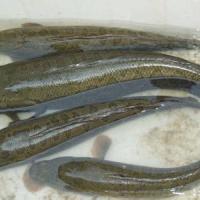 黑鱼 水产黑鱼 水产苗种 小黑鱼苗种