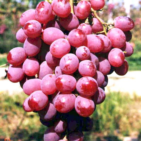 福建红芭拉多葡萄 红芭拉多葡萄批发价格 葡红芭拉多葡萄基地