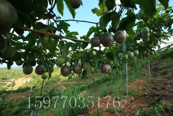 百香果苗怎么培育 紫香一号百香果树苗批发 鸡蛋果种苗