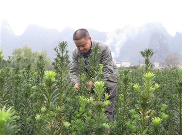 广西枇杷苗出售 广西哪里有白枇杷苗 实生苗枇杷好种吗