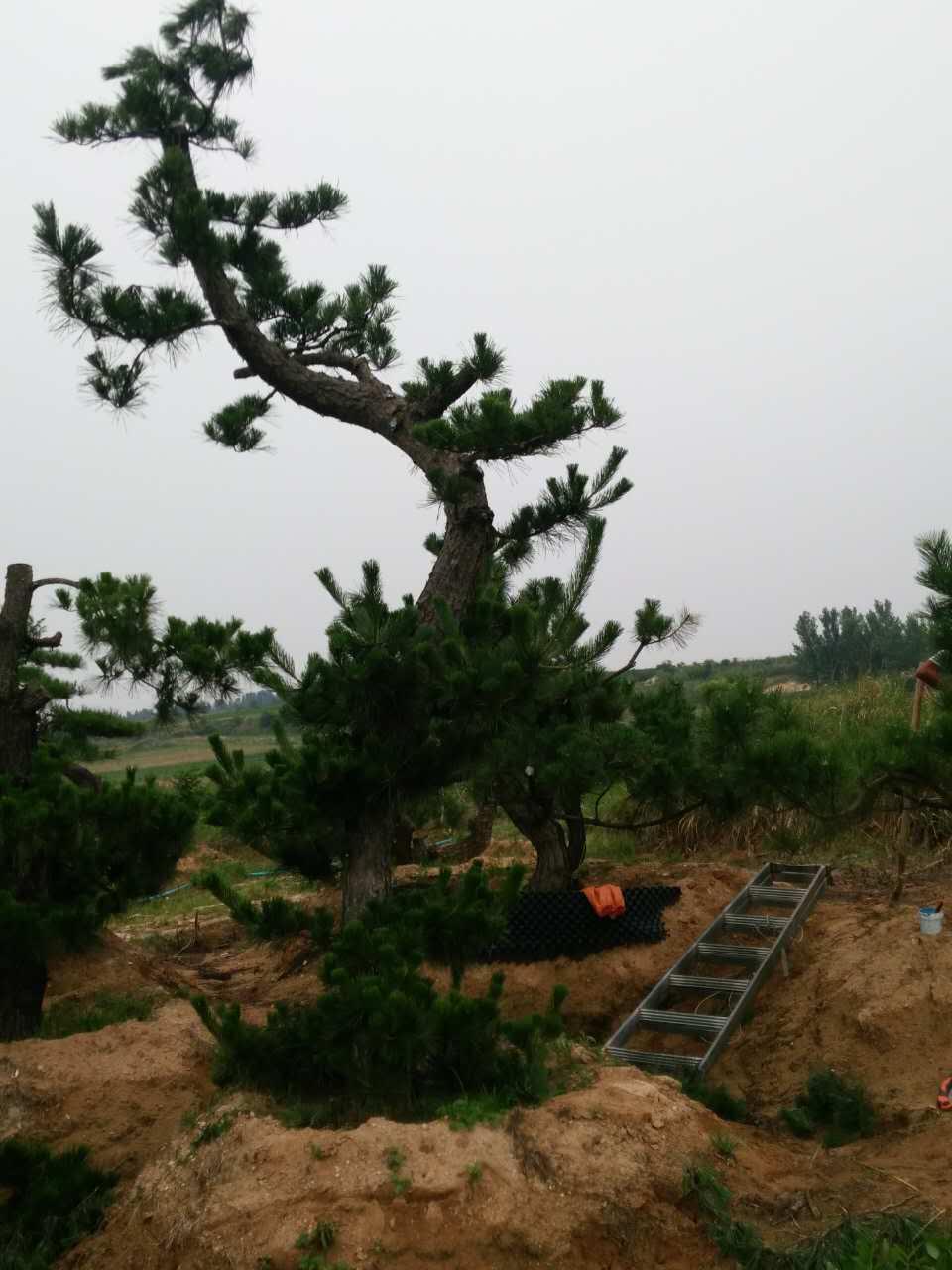 长沙桂花树盆景