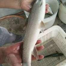 银雪鱼苗报价|大鳞耙鱼苗批发|大鳞耙鱼苗养殖中心批发