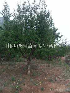 石榴树种植基地 石榴树销售 石榴树价格 山西石榴树