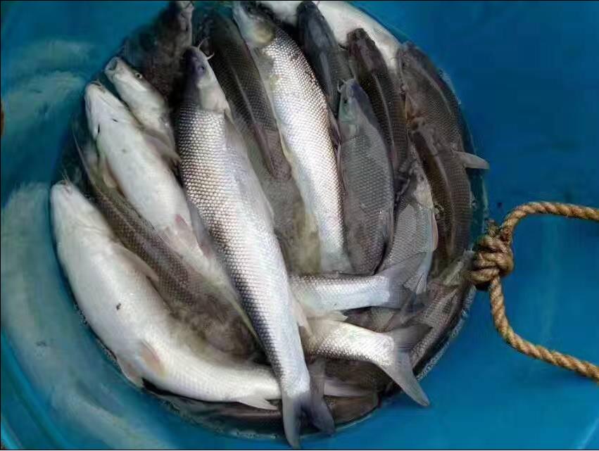 银雪鱼苗报价 大鳞耙鱼苗批发 大鳞耙鱼苗养殖中心