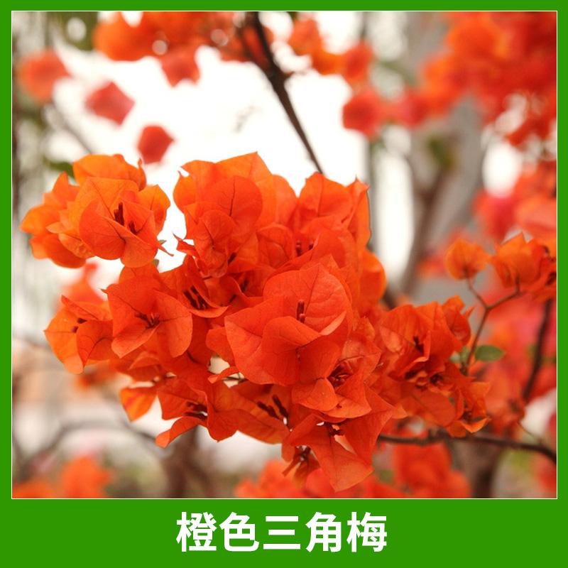 基地直销橙色三角梅园艺景观绿化植物三角梅/叶子梅盆景盆栽