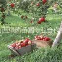山西苹果树哪里便宜图片
