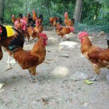 湘黄鸡公苗厂价直销包打疫苗成活高动物种苗品种优良