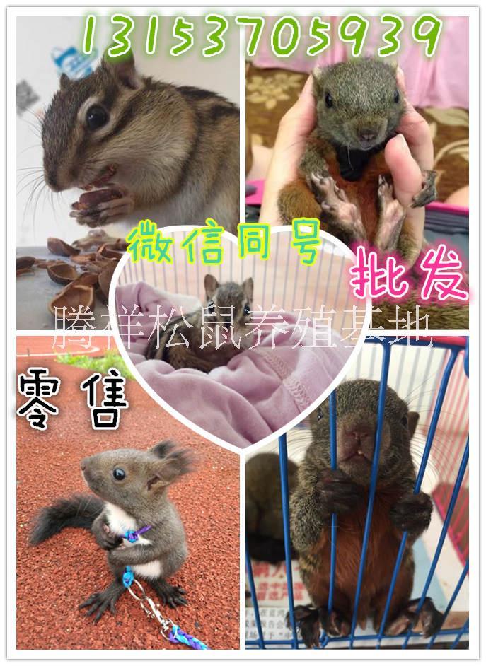 宠物松鼠 魔王幼鼠价格哪里有卖魔王松鼠