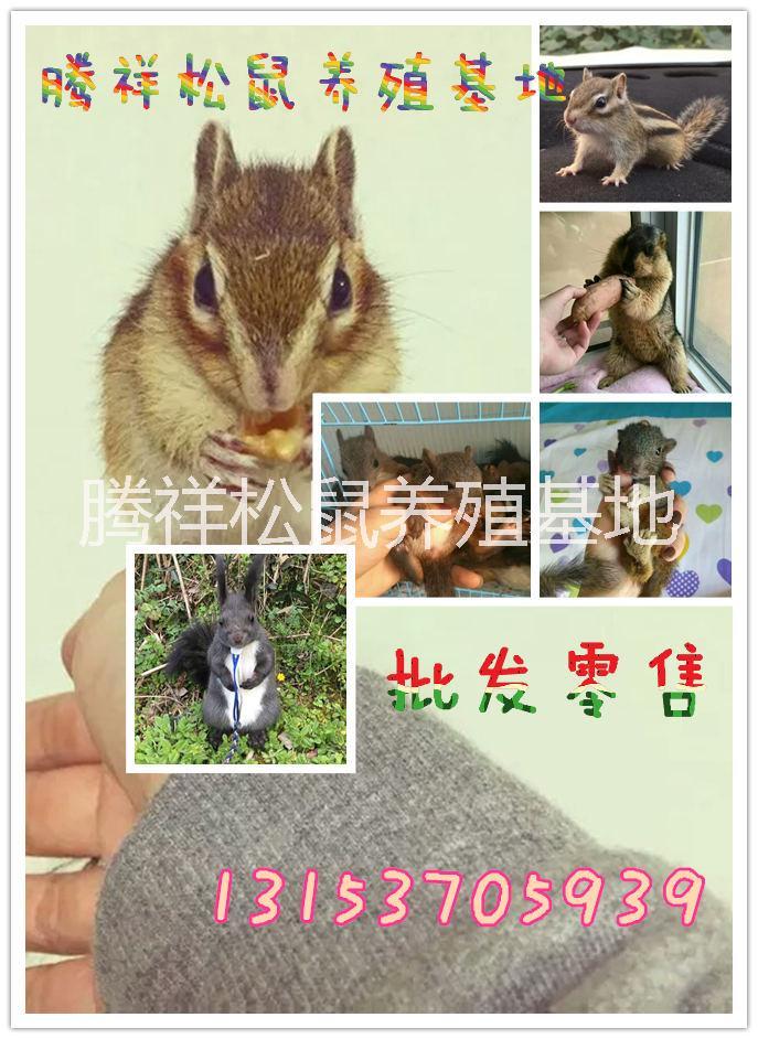 魔王松鼠价格哪里有卖宠物松鼠魔王松鼠幼鼠多少钱一只