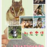 宠物松鼠哪里有卖松鼠的松鼠养殖场出售松鼠 宠物松鼠松鼠养殖场