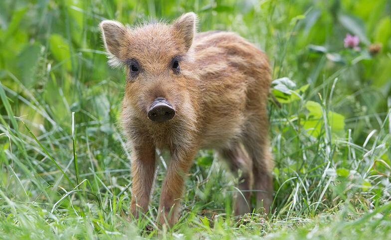 安徽野猪养殖、野猪养殖中心、野猪养殖价格 野猪养殖哪家好 野猪养殖厂家直销 野猪养殖供应商