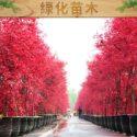 山东绿化苗木图片