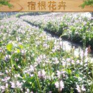 宿根花卉图片