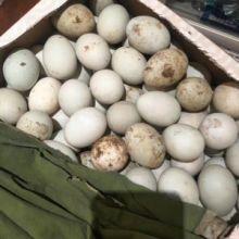 沛县鲜鸭蛋供应