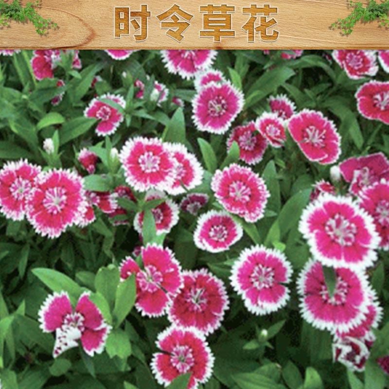 山东青州大量批发时令草花 绿化工程 园林用草花 长春花
