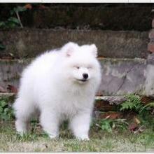 山东宠物狗狗批发零售宠物狗萨摩耶供应纯种萨摩耶幼犬图片