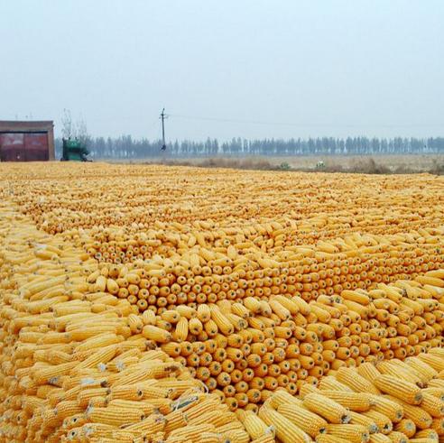 内蒙古玉米种植批发