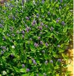 草坪 百慕大草卷 工程绿化苗 工程绿化竹 精品球 艺术造型 籽播苗 攀援植物 色块苗 水生植物