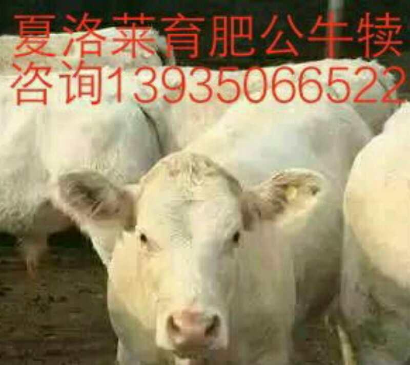 夏洛莱牛销售 山西夏洛莱牛批发 夏洛莱牛养殖基地 夏洛莱牛供应商