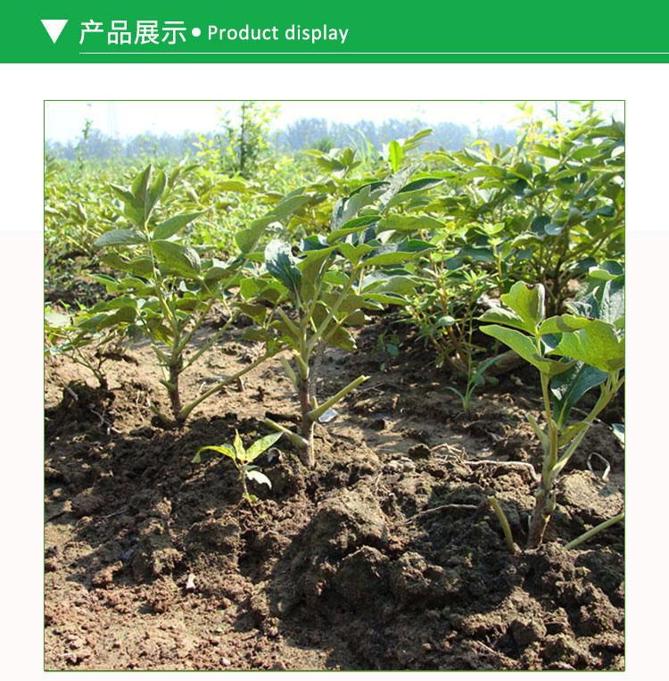 牡丹苗供应 牡丹花苗子 精品树苗 根系发达 分枝多 牡丹半枝莲花卉