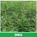 刺槐苗供应图片