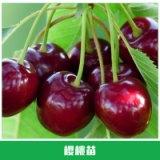 樱桃苗价格 紫珍珠樱桃 抗湿抗雨水不裂果 果苗 车厘子苗 蜜糖樱桃苗 欢迎来电订购