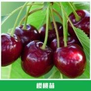 樱桃苗价格图片