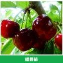 樱桃苗销售 果苗 车厘子苗 蜜糖樱桃苗 紫珍珠樱桃 抗湿抗雨水不裂果 欢迎来电订购