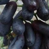 供应葡萄种苗