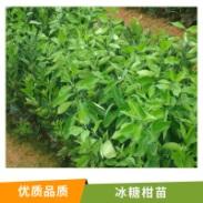 湖南 冰糖柑苗图片