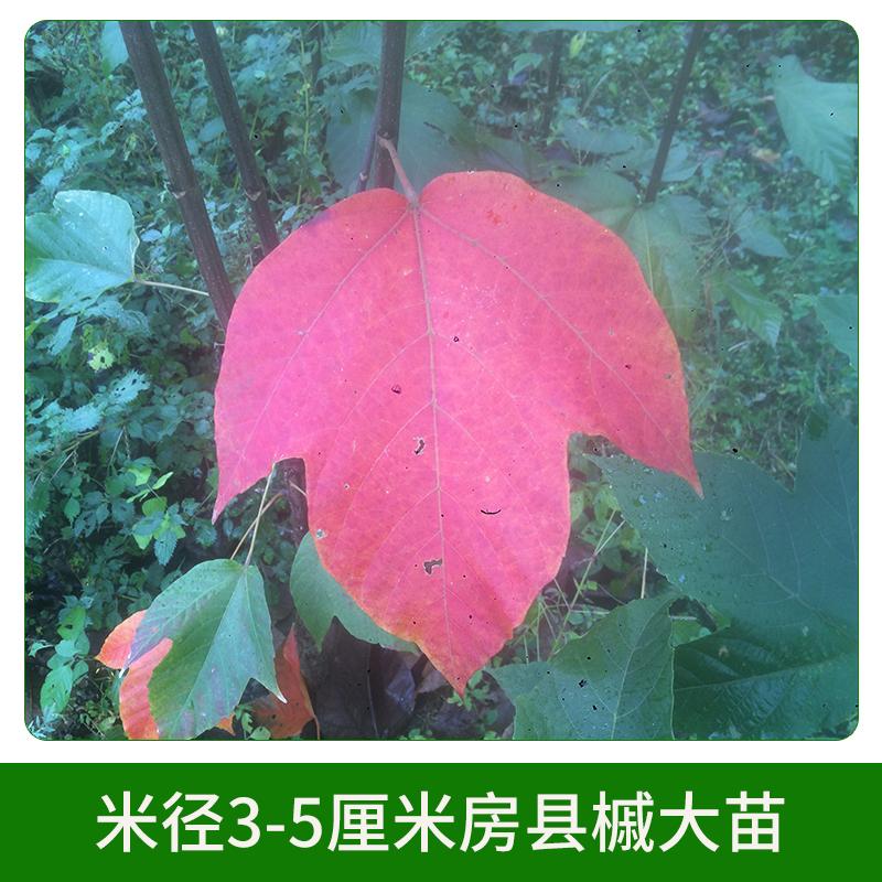 米径3-5厘米房县槭大苗销售