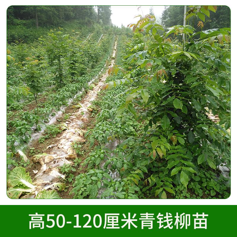 高50-120厘米青钱柳苗 苗圃园林 青钱柳摇钱树苗木 园林绿化苗 欢迎来电咨询