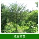 红豆杉苗销售图片