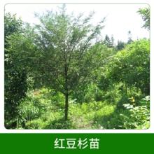 红豆杉苗销售 红豆杉 树苗 室内 盆景 盆栽 退耕还林 防辐射绿植 欢迎来电咨询