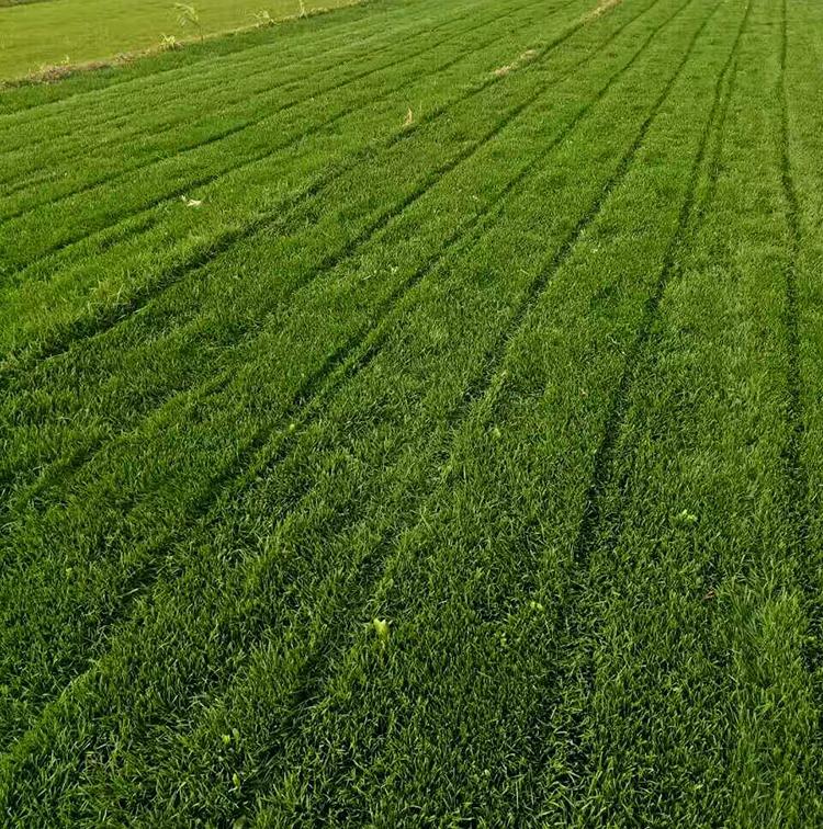 绿化草皮 哪里有草坪供应 草坪价格