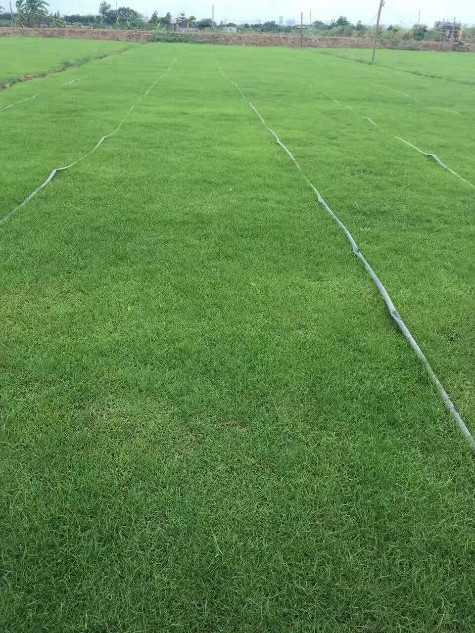 大叶油草 哪里有草坪供应 草坪价格