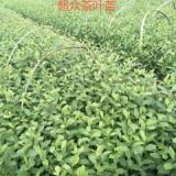 四川中茶108茶苗、龙井43茶苗、茶叶苗