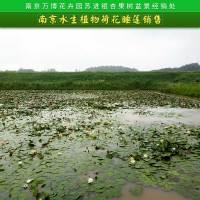 南京水生植物荷花睡莲销售