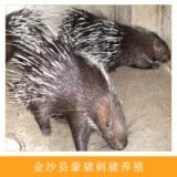 金沙县豪猪刺猪养殖无污染纯农家无饲料饲养生态养殖优质豪猪种苗