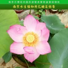南京水生植物荷花睡莲销售 荷花 莲花 水生植物基地直销 品种分绿化和观赏批发