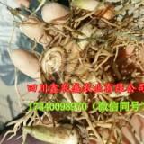 四川白芨种植基地,长期供应紫花三叉白芨种苗 白芨种子 白芨种块茎
