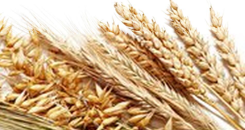 小麦图片/小麦样板图 (3)