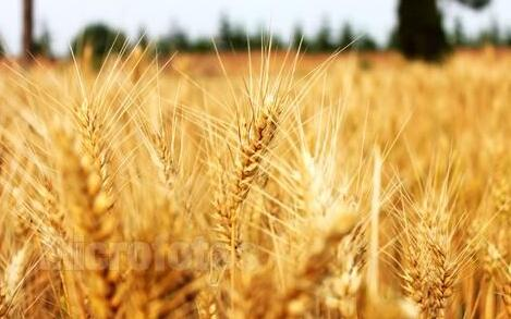 小麦图片/小麦样板图 (1)
