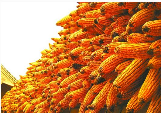 山东玉米图片/山东玉米样板图 (4)