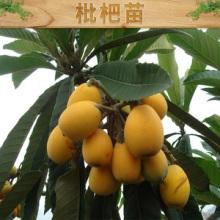苗圃 批发大五星枇杷苗基地直销优质枇杷树苗出售果树苗 次年结果批发