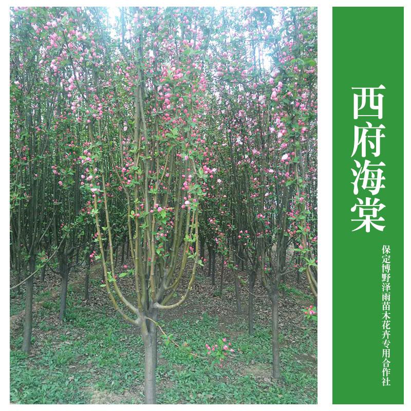 基地直销 西府海棠 垂丝海棠 大量供应 各种规格 行道树常绿乔木