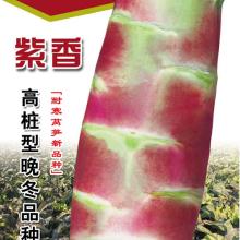盛一奇紫香高桩型晚冬莴笋种子 耐寒莴笋种子厂家批发 盛琪蔬菜种子公司销售批发