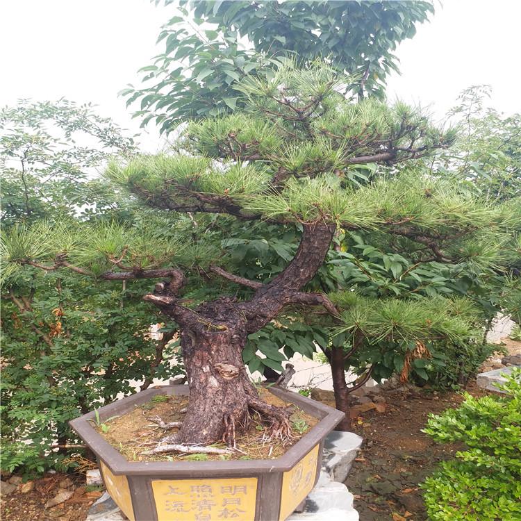 盆景黑松批发基地 造型松 北京求购黑松盆景 多少钱一盆