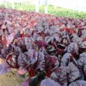 山东红叶甜菜图片
